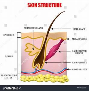 Skin Structure Stock Vector Illustration 264145658