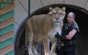 Liger vs. Saber-Toothed Tiger