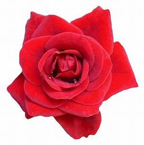 Red Rose Flower PNG Image - PngPix