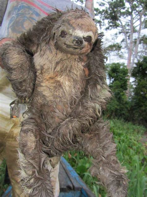 Big Sloth Olympic Dreams Were Squelched After