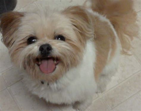 shiranian pomeranian shih tzu mix info care training