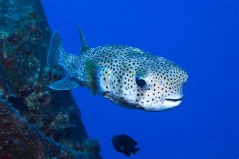 Ulua Vs. Porcupine Fish
