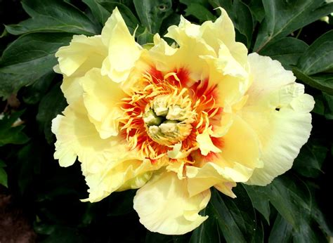draugiem.lv (With images) | Peony flower photos, Flower ...