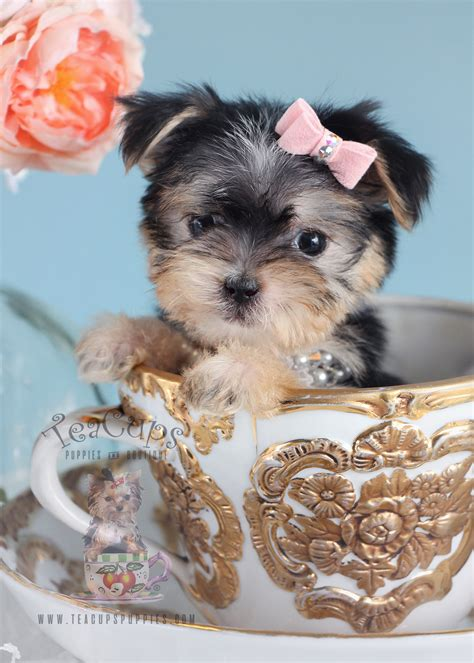 designer breed puppies  sale teacups puppies boutique