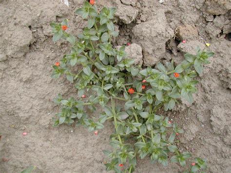Anagallis Arvensis Flowers
