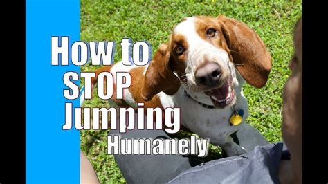 How To Stop My Puppy Jumping On The Sofa by How To Your To Stop Jumping On