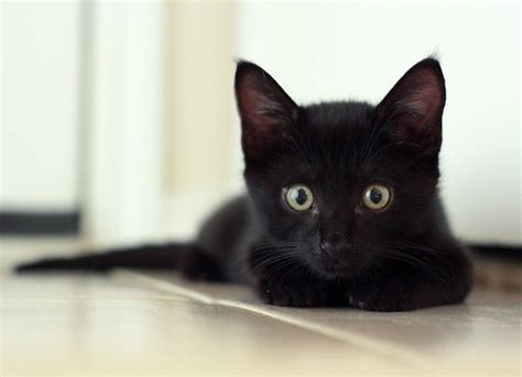 Liam The Rescue Black Kitten Grows Into Mini Panther Kitty