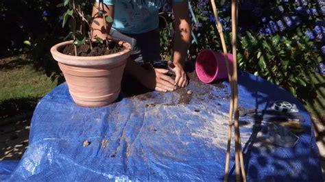 comment planter un bougainvillier en pot
