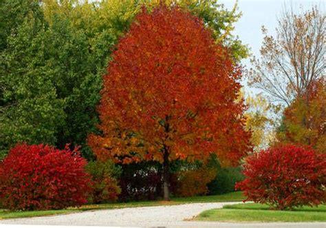 white ash burns  fall splendor plants landscaping