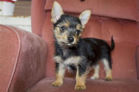 chorkie dog breed chihuahua yorkshire terrier mix