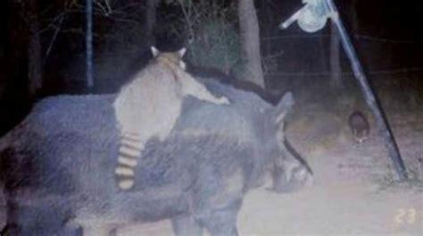weird trail camera  showcase bizarre animal
