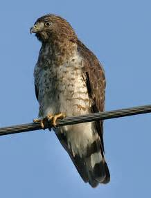 Broad Winged Hawk in Oklahoma
