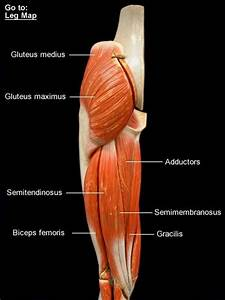 Thigh And Leg Muscle Model Posterior