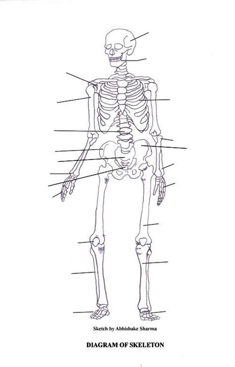 Basic Bone Diagram by Labeled Skeletal System Diagram Education Skeletal