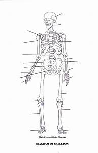 Labeled Skeletal System Diagram  With Images
