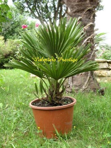 type de palmier exterieur chamaerops humilis quot vulcano quot vente des plus beaux palmiers d ext 233 rieur