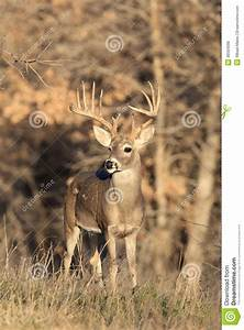 Huge Typical Racked Whitetail Buck Royalty Free Stock ...