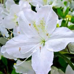 lilies flower top 25 most beautiful white flowers