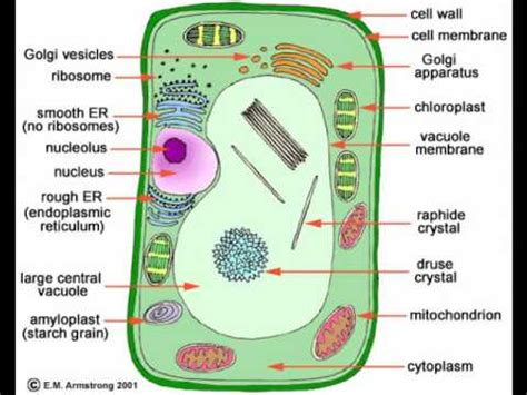plant cells  animal cells youtube