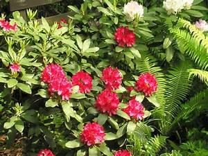 Rhododendron Blüten Schneiden : rhododendron pflanzen pflegen und schneiden gartentipps ~ A.2002-acura-tl-radio.info Haus und Dekorationen