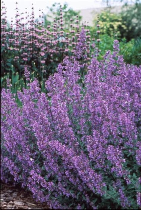 cat mint catmint nepeta x faassenii walker s low from saunders brothers inc