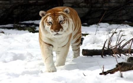Rare Tabby Tiger Cats Animals Background Wallpapers