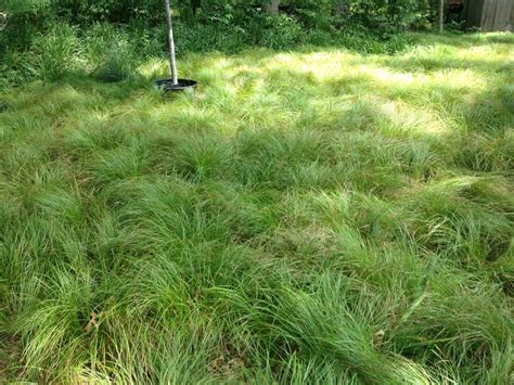 pennsylvania sedge lawn lawn alternative planted with pennsylvania sedge garden in the woods grasses pinterest