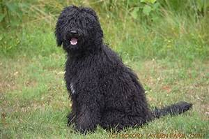 Hickory Tavern Farm Barbet: Dogs: Our Barbet Puppy Solene ...