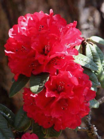 Rhododendron hybrida 'Nova Zembla'