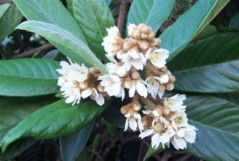 fiori di nespolo nespolo giappone propriet 224 idee green