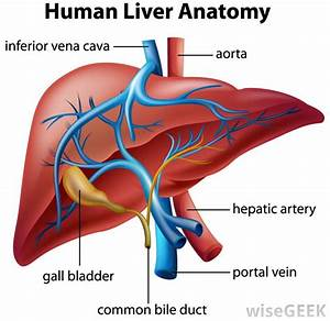 Diagram Blood Vessels Hepatic Portal System