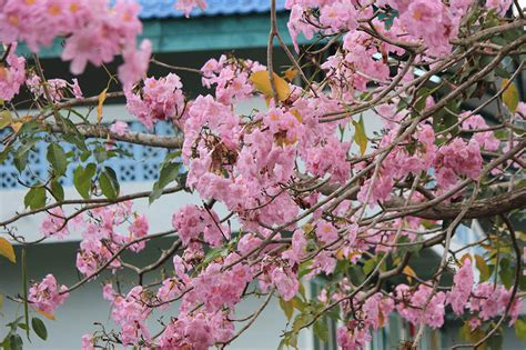 Man taking selfie photo smartphone. Wow 17+ Gambar Bunga Sakura Batam - Koleksi Bunga HD