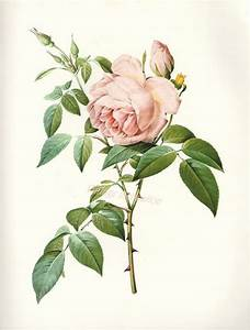 Botanical IllustrationBotanical Illustration Vintage ...