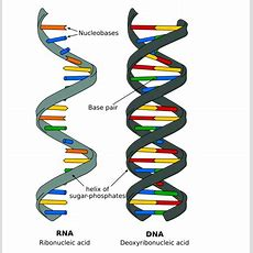 Polynucleotide An Overview Of Dna Structure And Polynucleotide