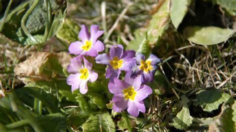 Pflanzen Im März by Welche Blumen Bl 252 Hen Im M 228 Rz Blumen Im M Rz Pflanzen Die