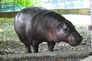 Pygmy hippopotamus/ Hexaprotodon liberiensis | ZooChat