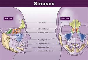 Sinus Cavity Diagram