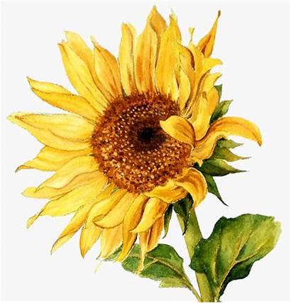 Sunflower Watercolor Clipart Flower Yellow Bouquet Spring