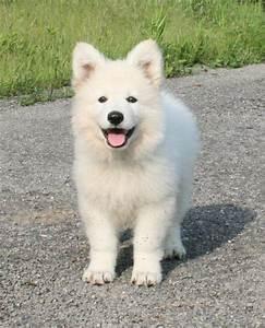Bébé Loup Blanc : photo chien de race berger blanc suisse hamarocq p 39 tits ~ Farleysfitness.com Idées de Décoration
