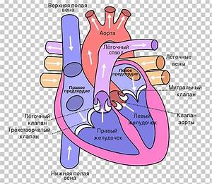 Anatomy Of The Heart Diagram Lung Circulatory System Png