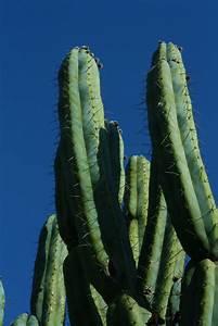 mikaela holman columnar cacti