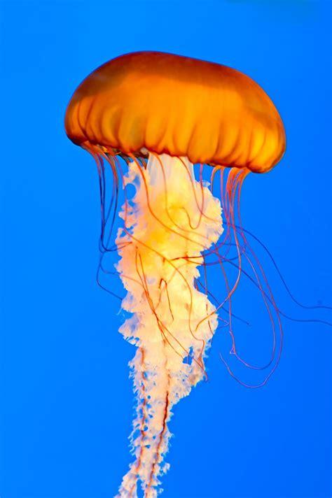 pacific sea nettle jellyfish   national aquarium