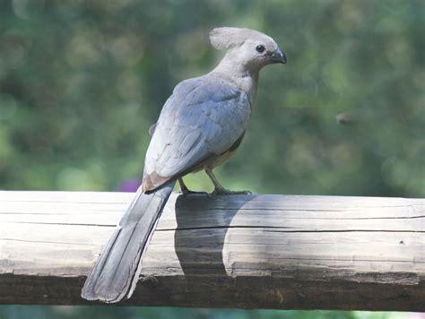 file grey go away bird rwd jpg