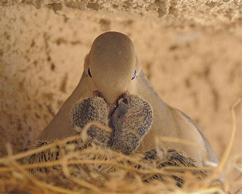 mourning dove feeding young the mourning dove produce a