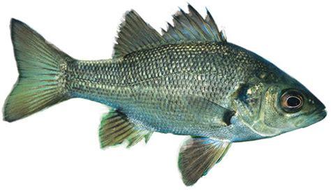 australian bass fish identification information