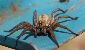 Are Wolf Spider Bites Poisonous