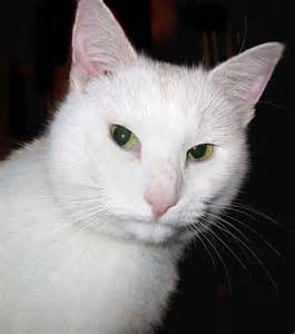 white cat white cat free stock photo domain pictures