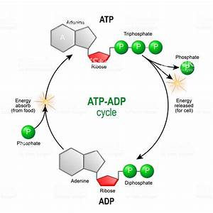 Atp Adp Cycle Intracellular Energy Transfer Stock