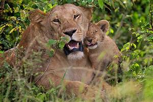 Lion Cubs With Mother | www.imgkid.com - The Image Kid Has It!