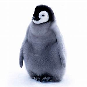 baby penguin - Birds Photo (36090571) - Fanpop